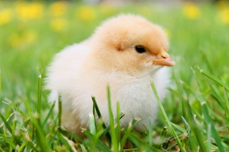 chicks-spring-chicken-plumage-55834.jpeg